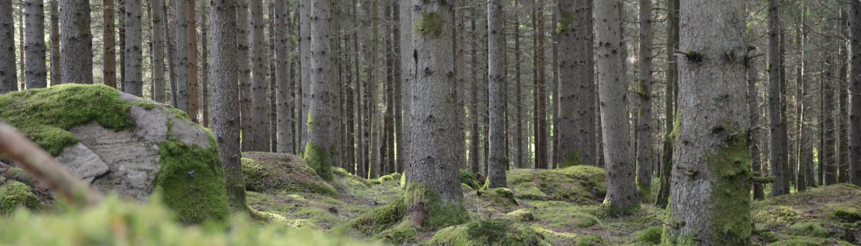 Tallskog med grön mossa på marken.